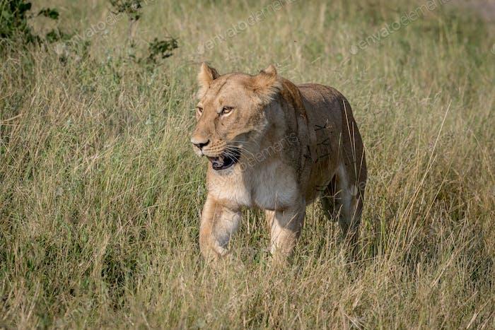 León caminando en la hierba Alto.