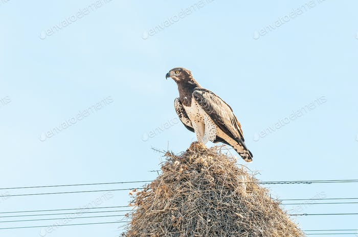 Martial eagle with prey on communal bird nest