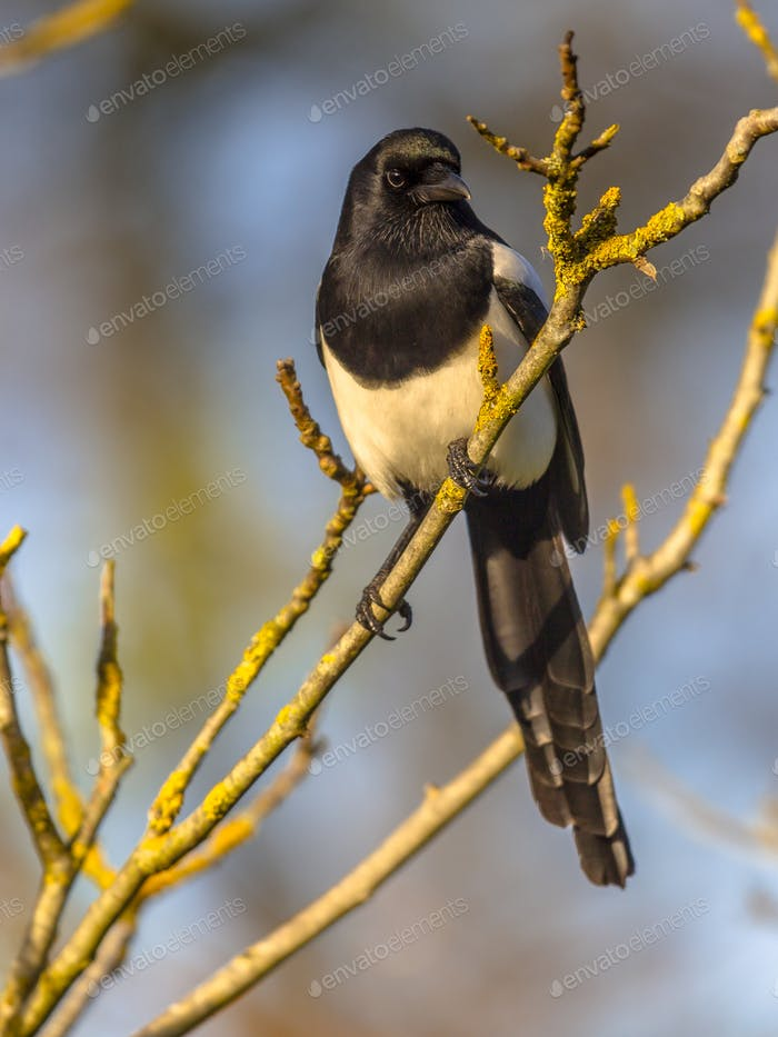 Eurasian magpie on branch