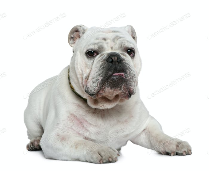 English bulldog, 10 months old, lying in front of white background
