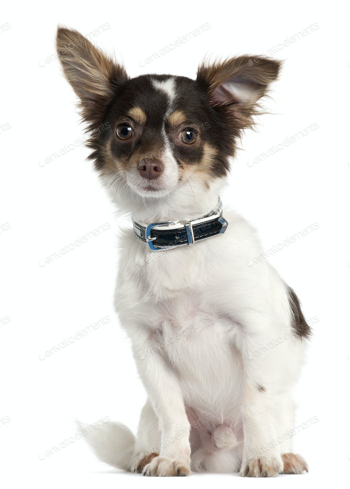 Chihuahua, 7 month old, sitting in front of white background