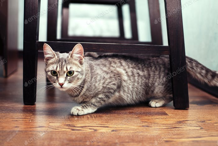Grey domestic cat lying on the floor. The concept of pets.