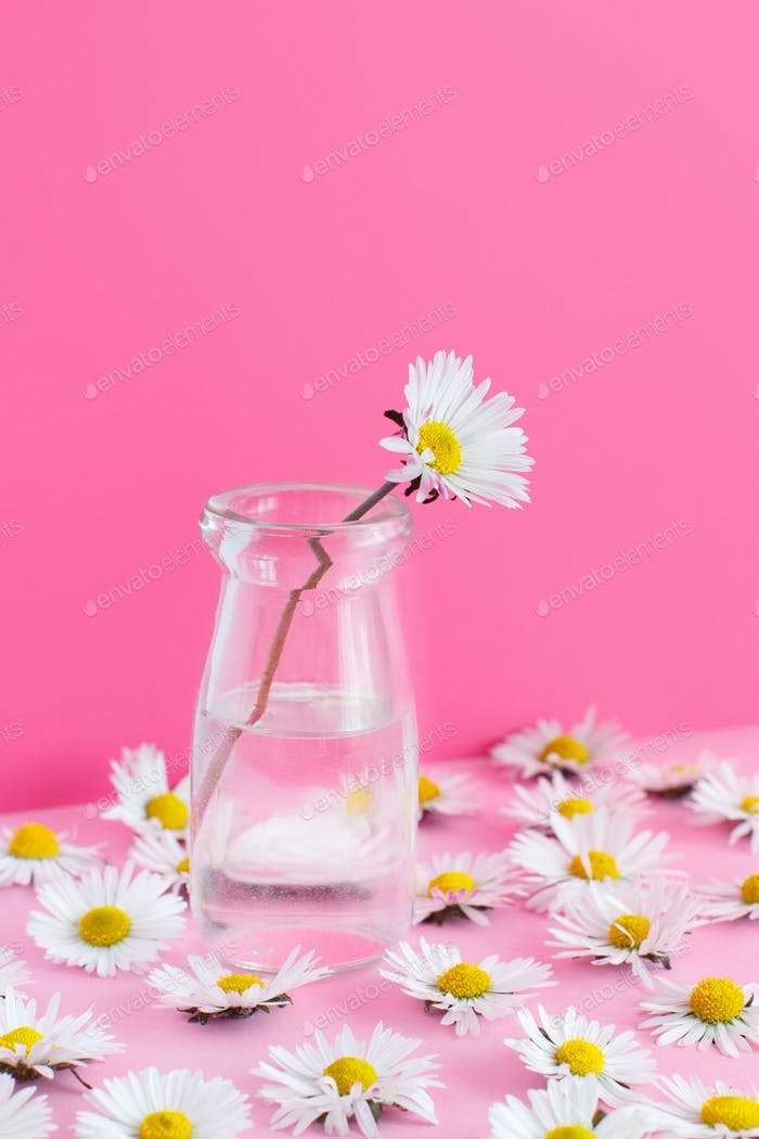 Spring composition with daisies on a light pink background