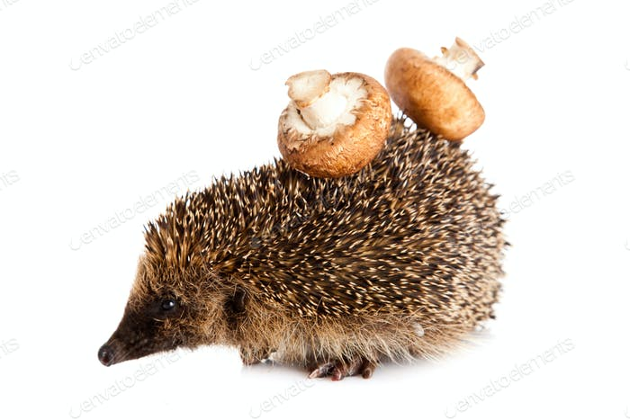 hedgehog on a white background.  Hedgehog with mushroom