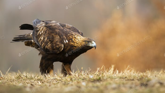 Golden eagle sitting on a meadow in autumn with copy space
