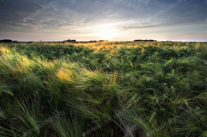 sunshine over wheat field
