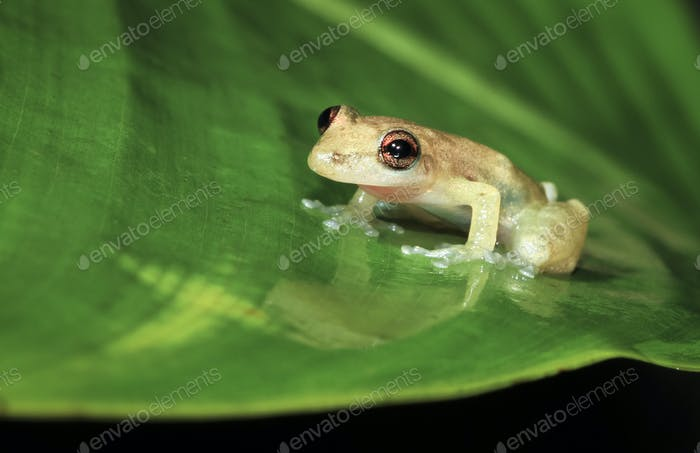 Stauffer's Treefrog on a Leaf in Belize
