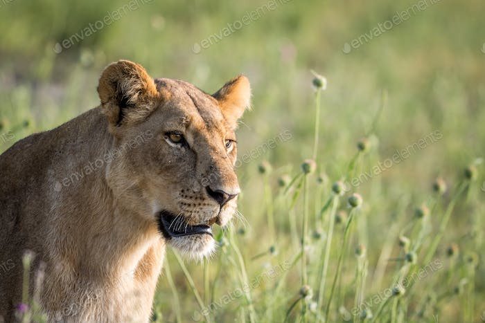Side profile of a Lion in the grass.