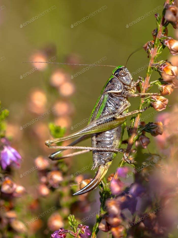 Female Bog Bush-cricket on heather