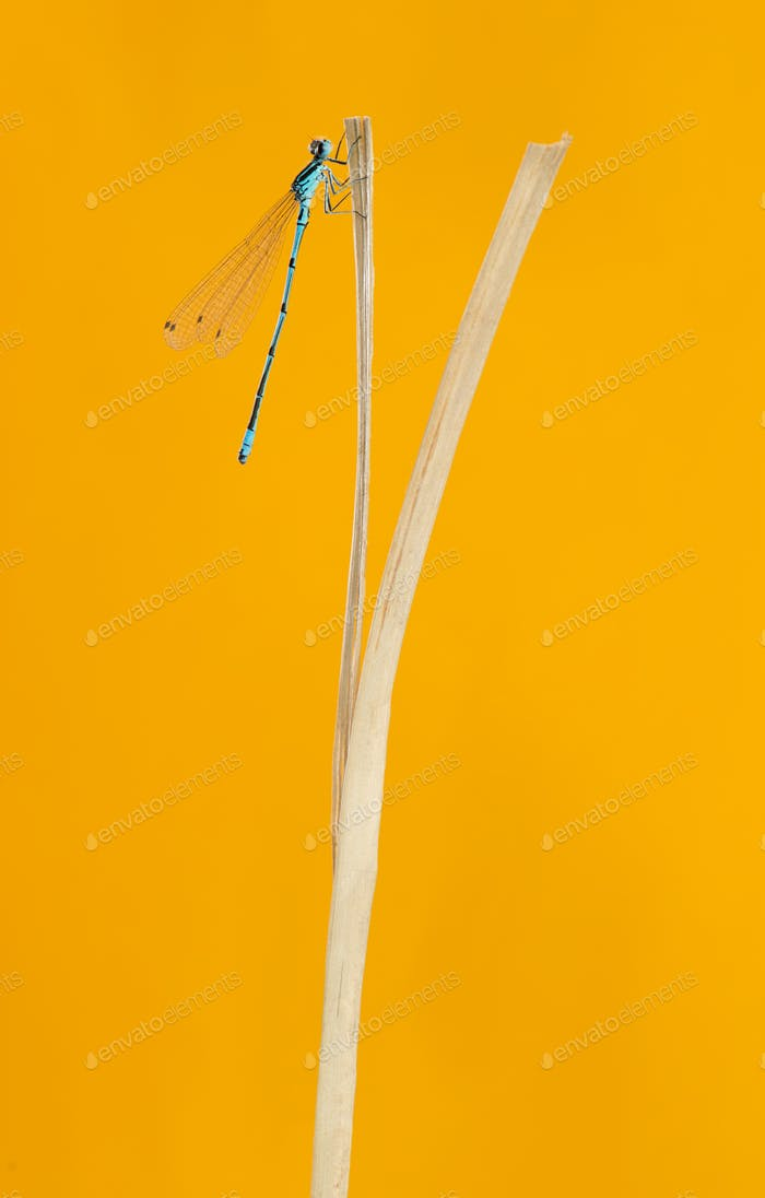 Azure damselfly, Coenagrion puella, on a straw in front of an orange background