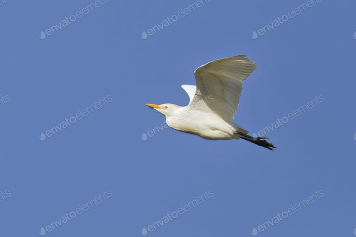 Kuhreiher, Bubulcus ibis, Cattle Egret