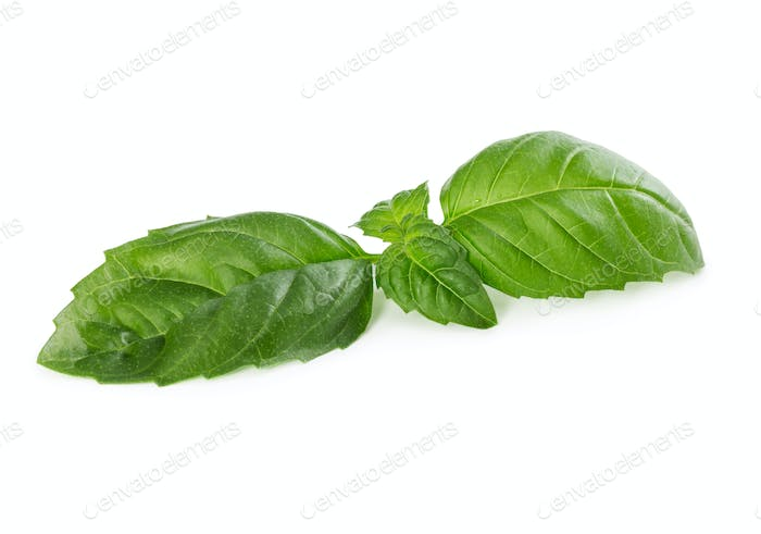 Fresh green basil isolated on white