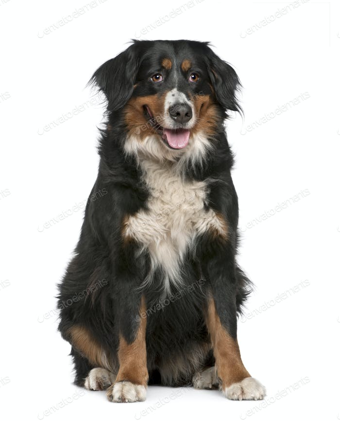Bernese mountain dog, 4 years old, sitting in front of white background