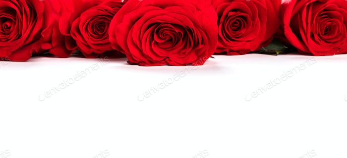 Red fresh roses isolated on white background.