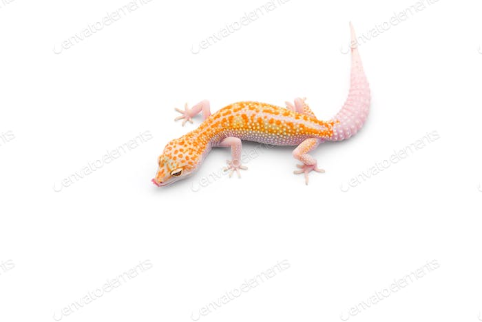 The common leopard gecko isolated on white background