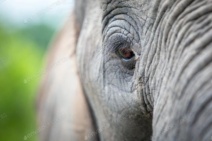 An elephant's eye, Loxodonta africana, long eyelashes, creased skin