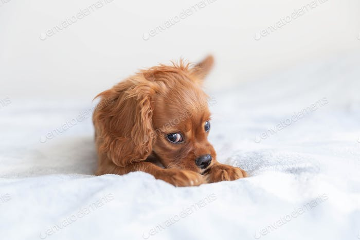Funny puppy of cavalier spaniel relaxing