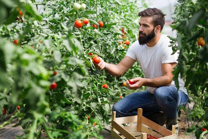 Bio-Bauer überprüft seine Tomaten in einem Treibhaus