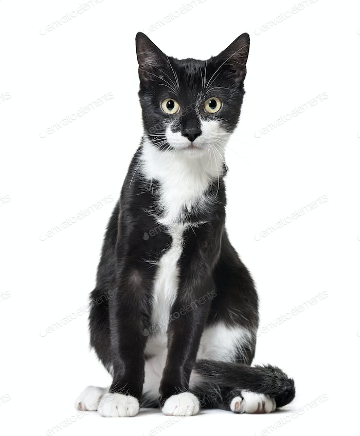 Mixed-breed cat,Sitting, cut out