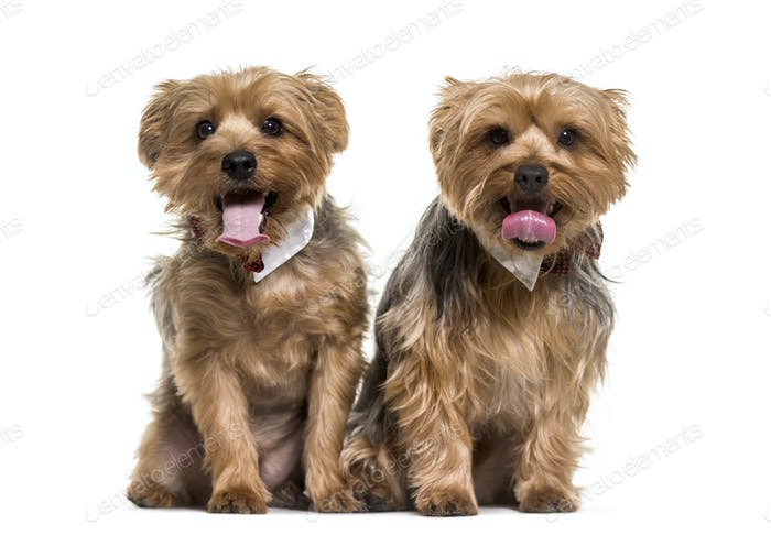 Two yorkshire terrier dogs sitting and panting, cut out