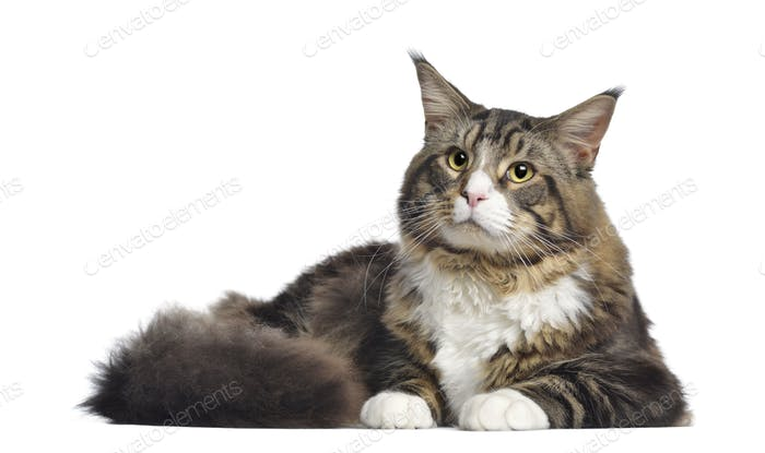 Maine coon, 10 months old, lying, isolated on white