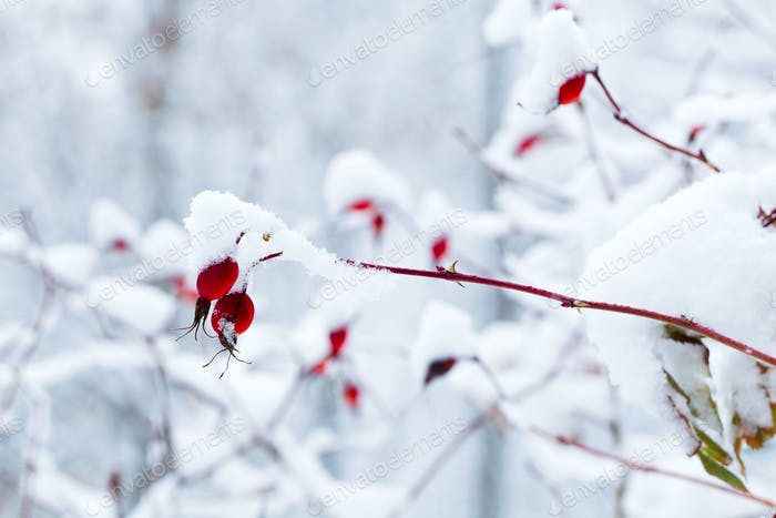 Branches with the fruits of wild rose covered with snow