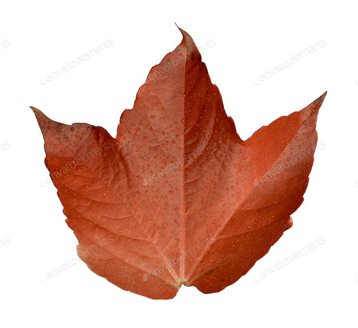 Isolated Orange Leaf Leaf