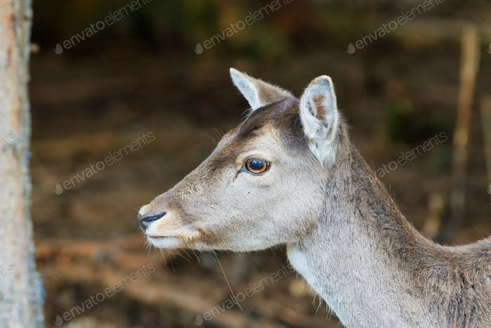 Portrait of fallow deer (Dama dama)