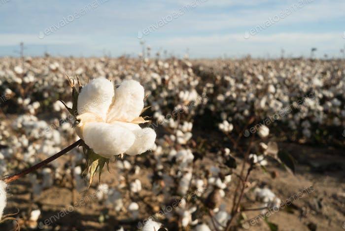 Cotton Boll Farm Field Texas Agriculture Cash Crop