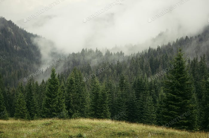 Mountain pine tree forest landscape with fog rising