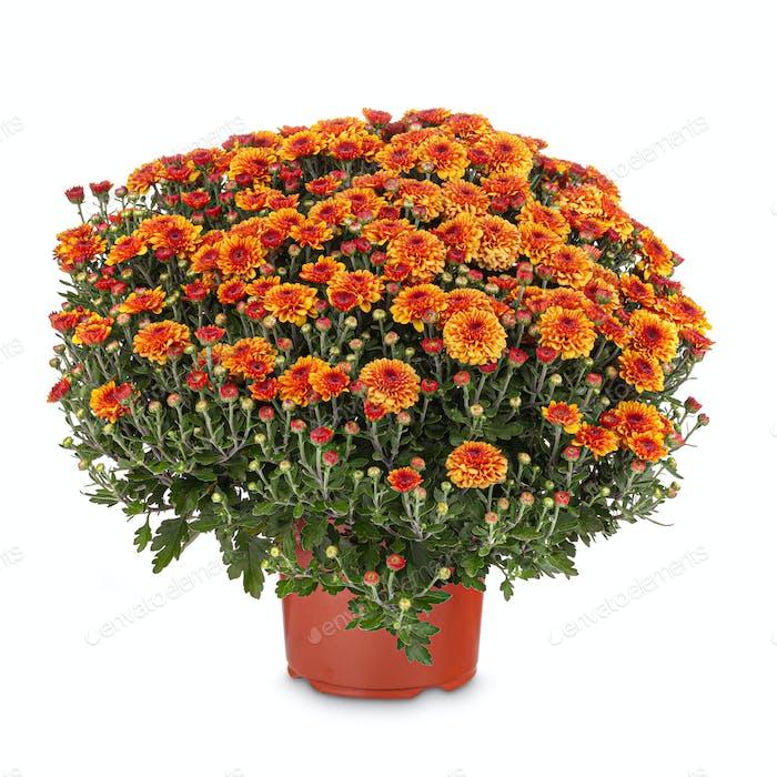 Orange Herbst Chrysanthemen