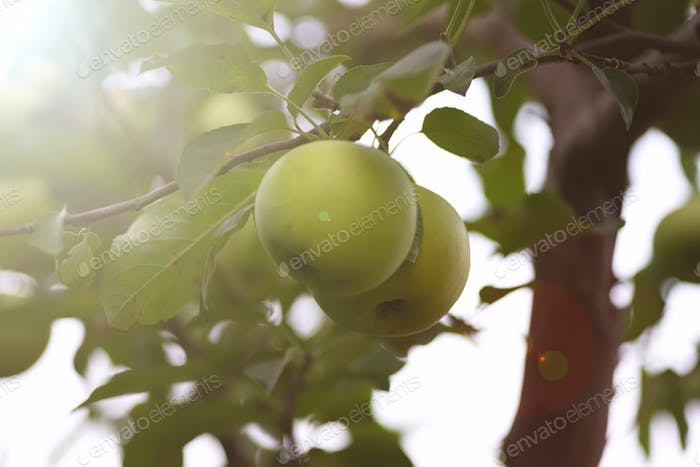 Ripe juicy apples on a branch in the garden . The harvest concept