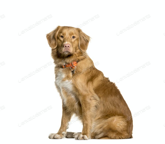 Mixed-breed Dog sitting in front of white background