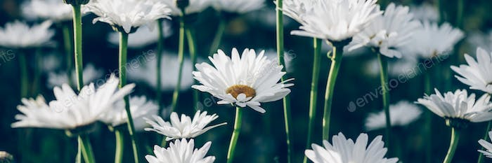 White camomiles daisy flowers