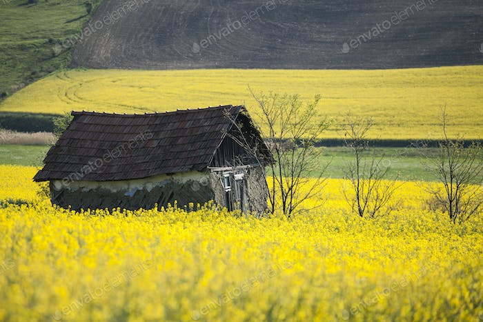 Small house in rape field