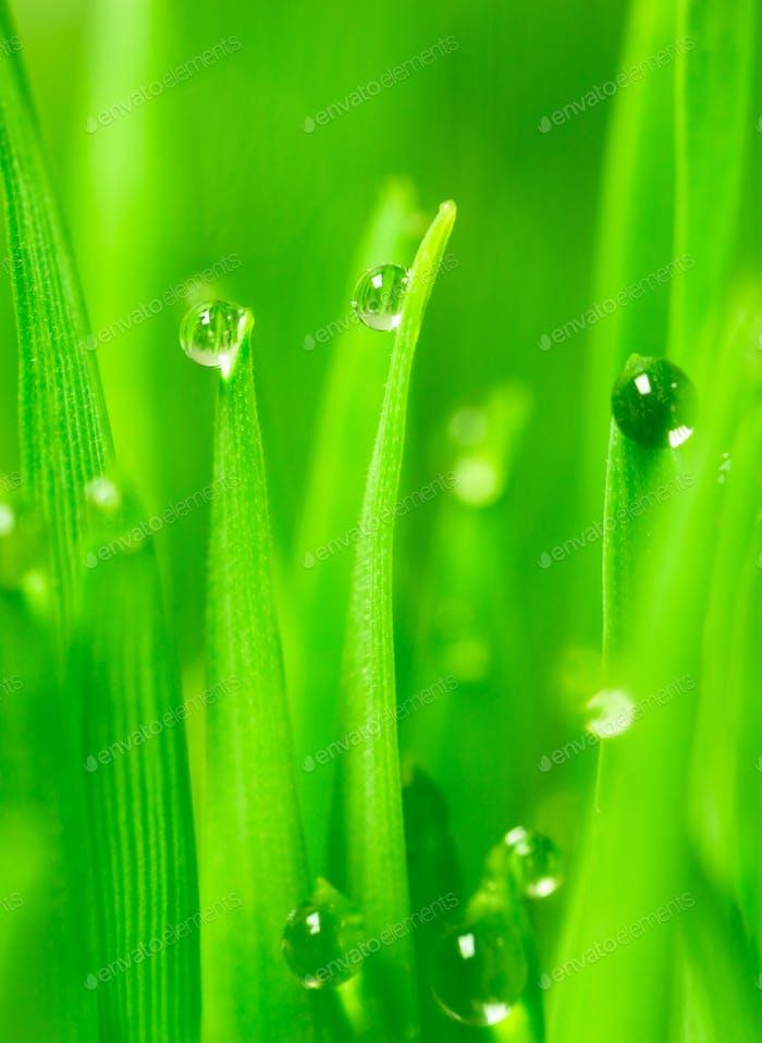 Microgreens Growing Vertical Dew on Wheatgrass Blades