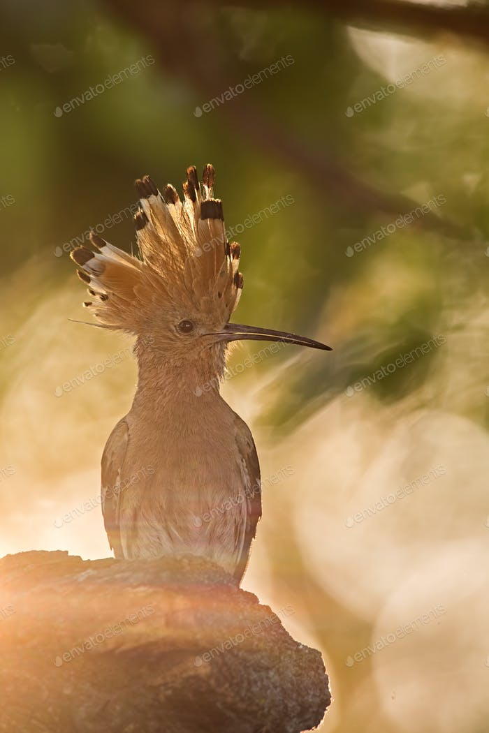 Silhouette of hoopoe, upupa epops, early in the sunny morning
