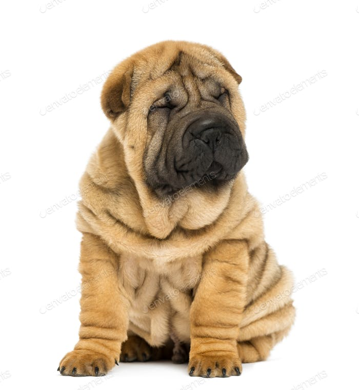 Front view of a Shar pei puppy sitting with eyes closed (11 weeks old) isolated on white