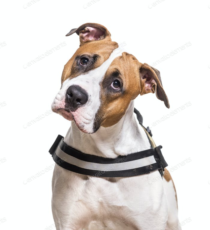 Close-up of American Staffordshire Terrier dog, cut out