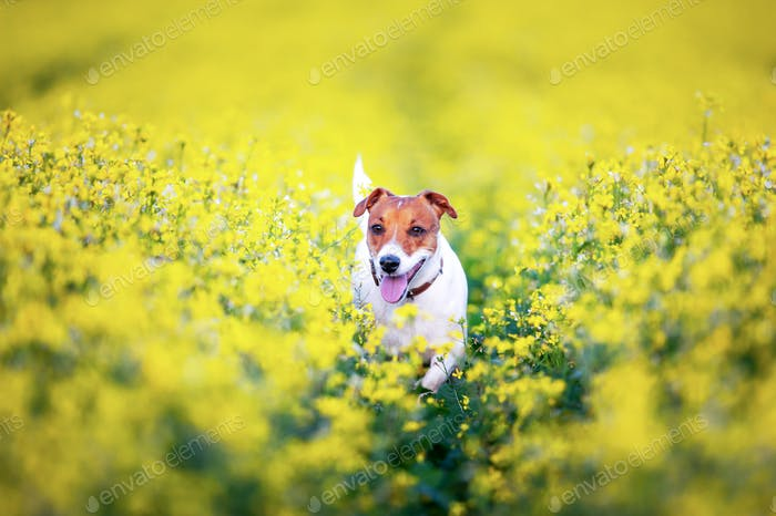 Jack russel terrier puppy on yellow rapeseed flower meadow