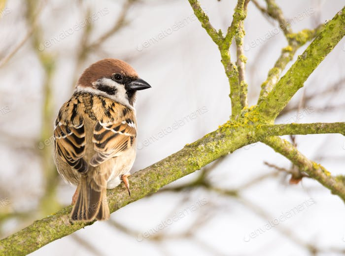 Eurasian Tree Sparrow sitting on a tree branch