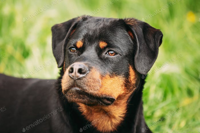 Funny Young Black Rottweiler Metzgerhund Puppy Dog Sit In Green Grass In Summer Park Outdoor. Close