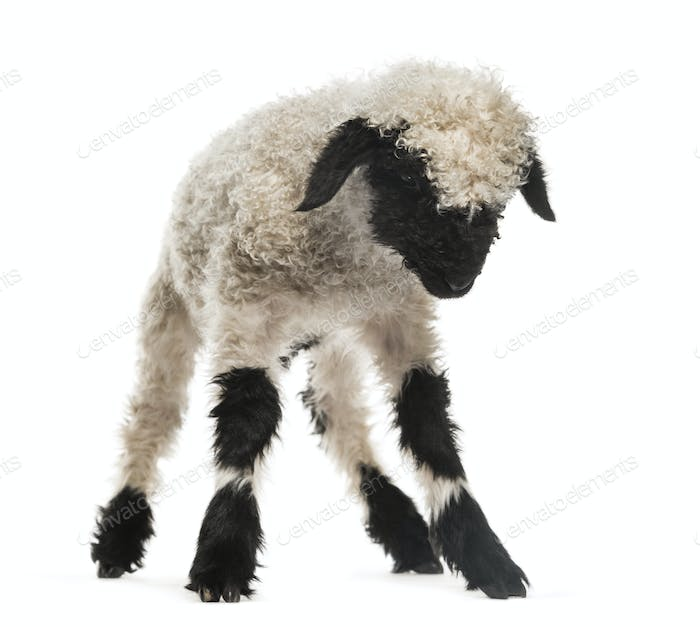 Lamb looking down in front of white background