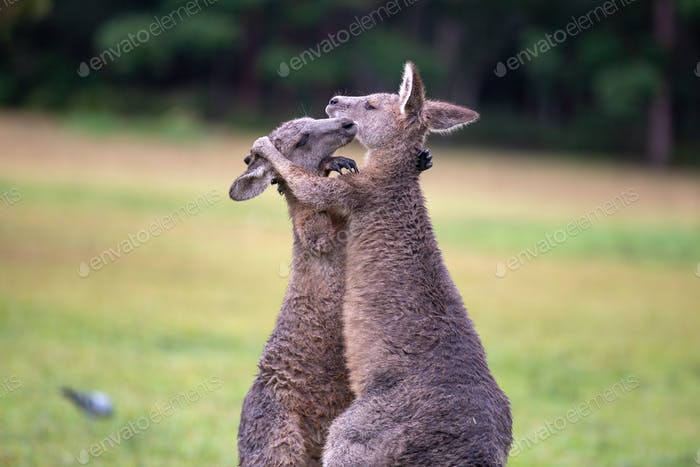 Eastern Grey Cangaroos Fighting