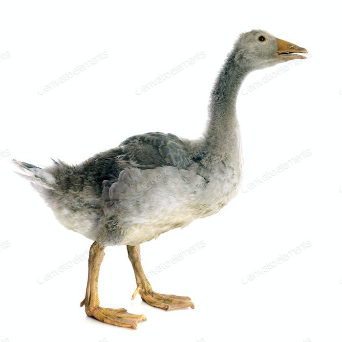 gray gosling