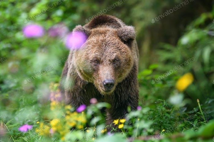 Wild adult Brown Bear ( Ursus Arctos ) in the summer forest