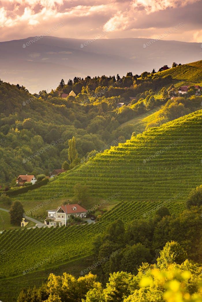 Paisaje de la puesta del sol de filas de viñedos en el campo austriaco en Leibnitz Kitzeck im Sausal