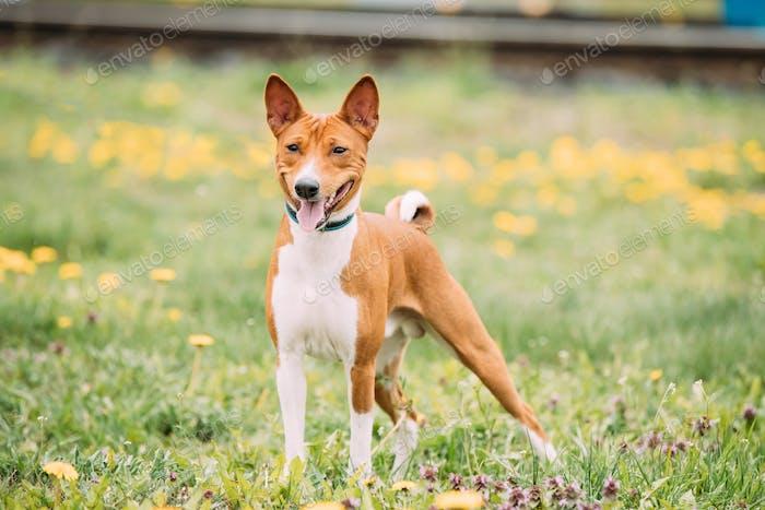 Basenji Kongo Terrier Dog. The Basenji Is A Breed Of Hunting Dog