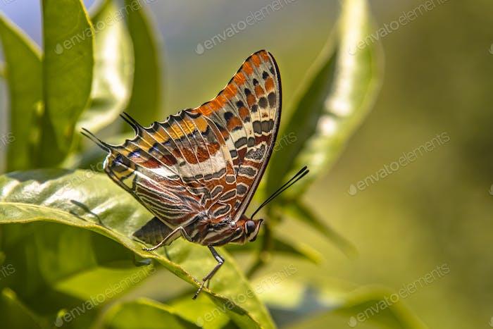 Zwei-Schwanz-Paschascha-Schmetterling