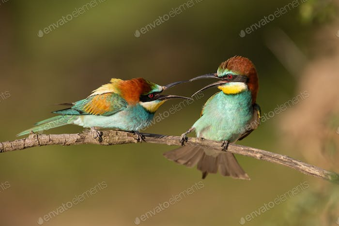 Pair of european bee-eaters, merops apiaster, figahting